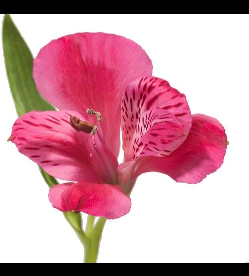 Alstroemeria Dark Pink 'Wholesale Flowers'