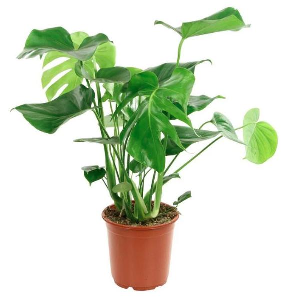 مونستيرا نباتات داخلية