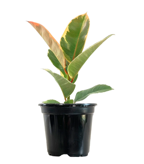 اللبخ المرنة نباتات داخلية