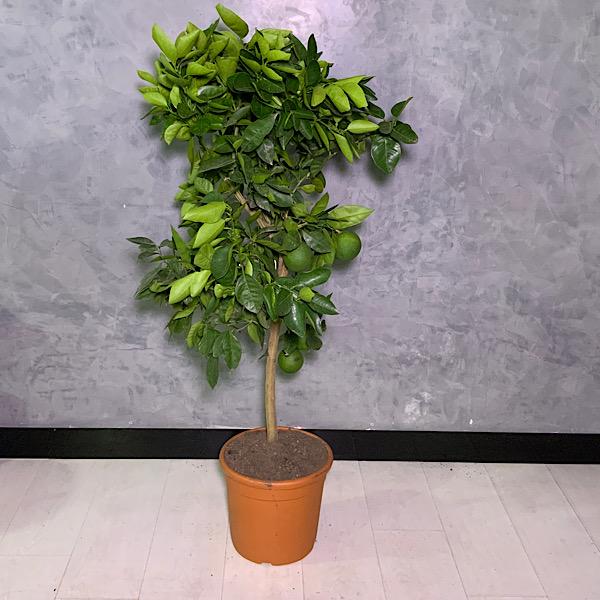 Citrus Tree Indoor Plants