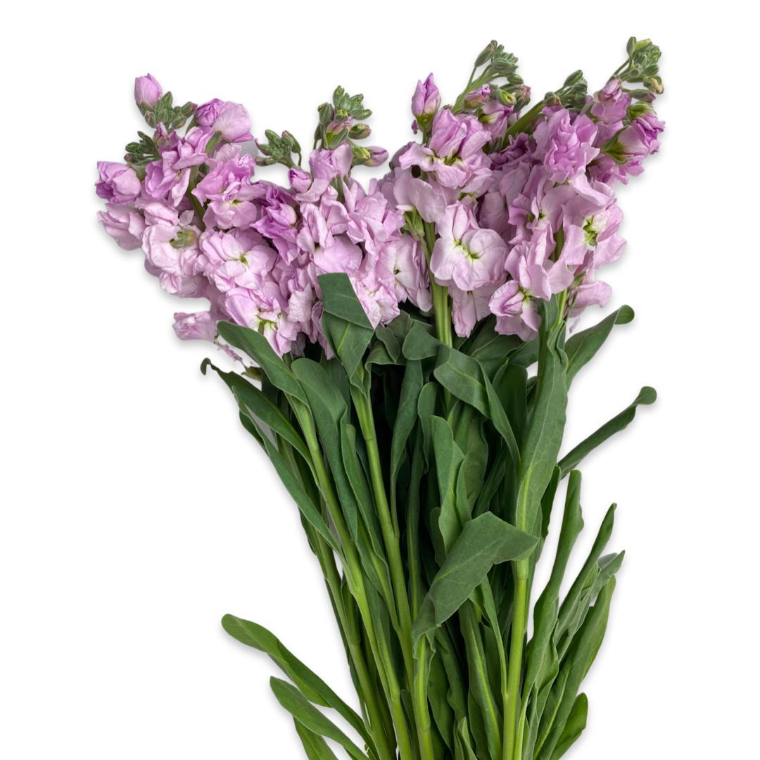 نبات المنثور - وردي فاتح  الزهور بالجملة