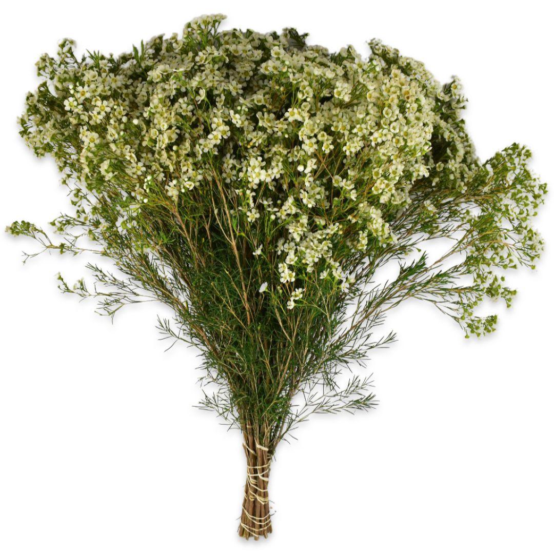 Wax Flower Pure White  الزهور بالجملة