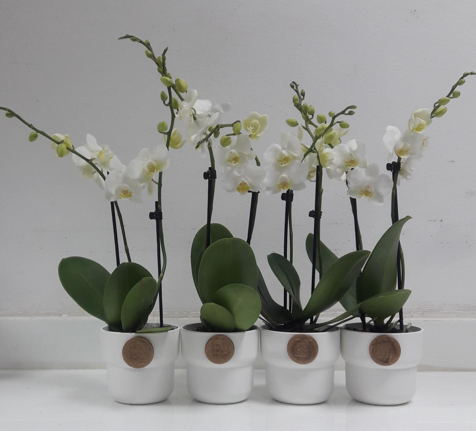 مجموعة ميني اوركيد 1 نباتات للمكاتب